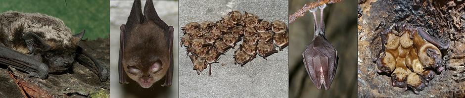 Nietoperze – opisy gatunków